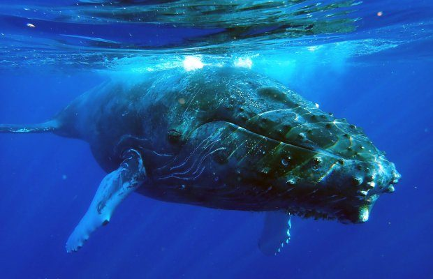 Interesting Facts About Humpback Whales