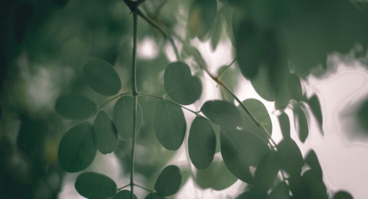 Moringa Leaves: Benefits and Uses for Hair Growth